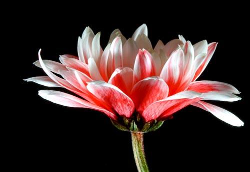 flor de parabens